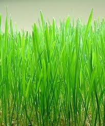 how to grow wheatgrass